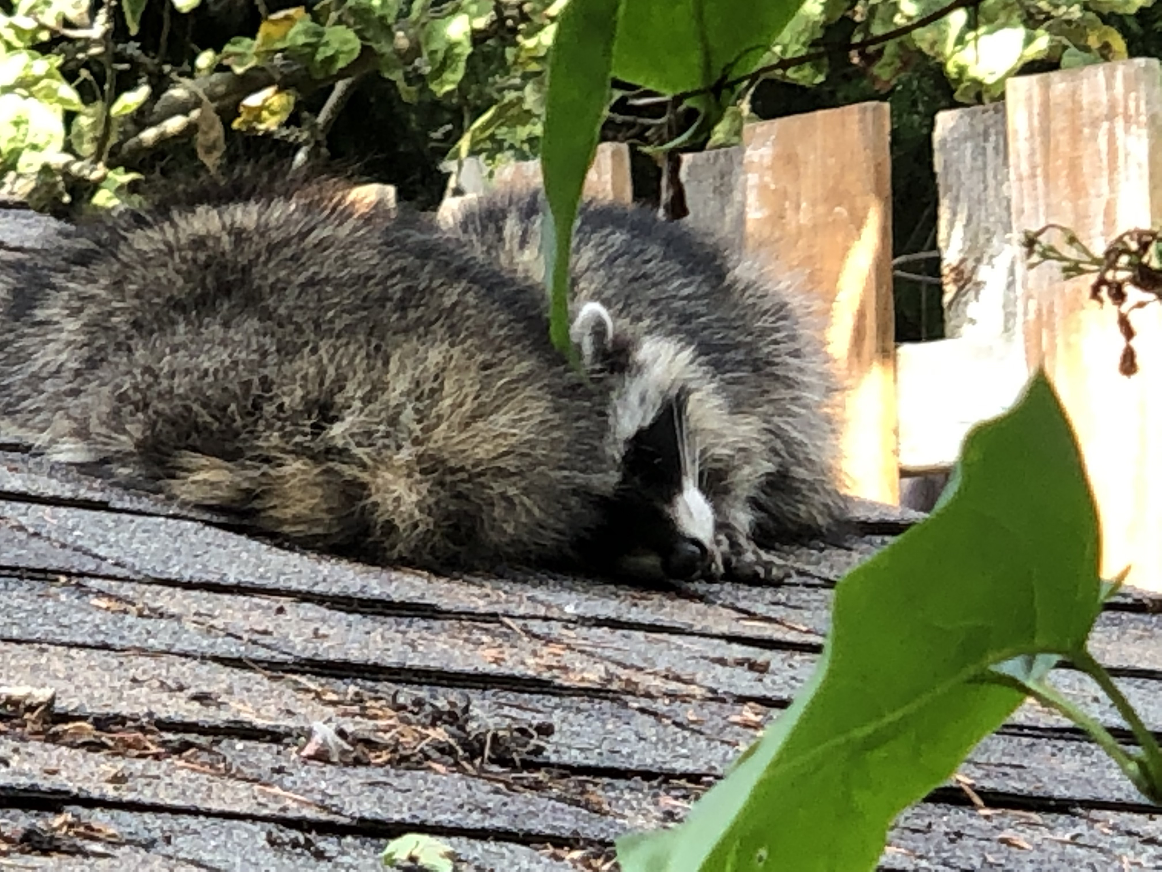 Two raccoons curled up together and sleeping on the roof of a garage.
