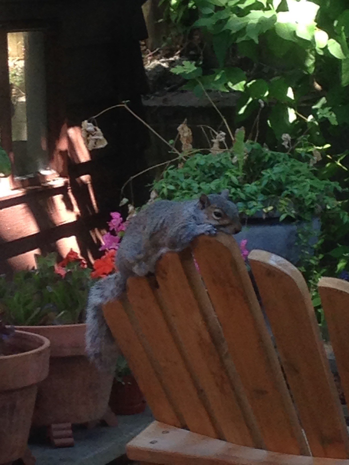 Squirrel on top of the back of an Adirondack chair.
